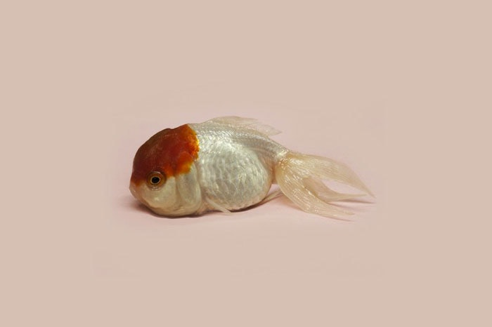 Renhui-Zhao,-A-Guide-to-the-Flora-and-Fauna-of-the-World,-goldfish-queen,-Grand-Prix-Fotofestiwal-2014