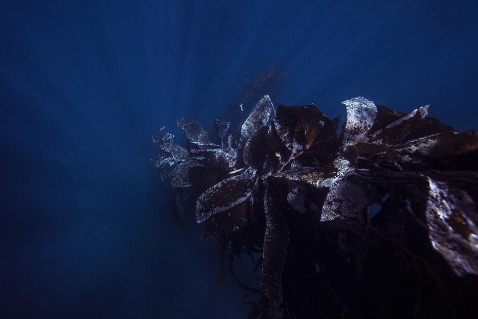 Kelp Rays