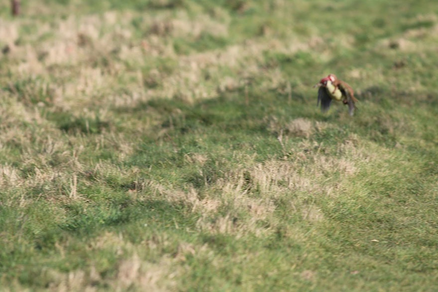 weasel-riding-woodpecker-wildlife-photography-martin-le-may-2