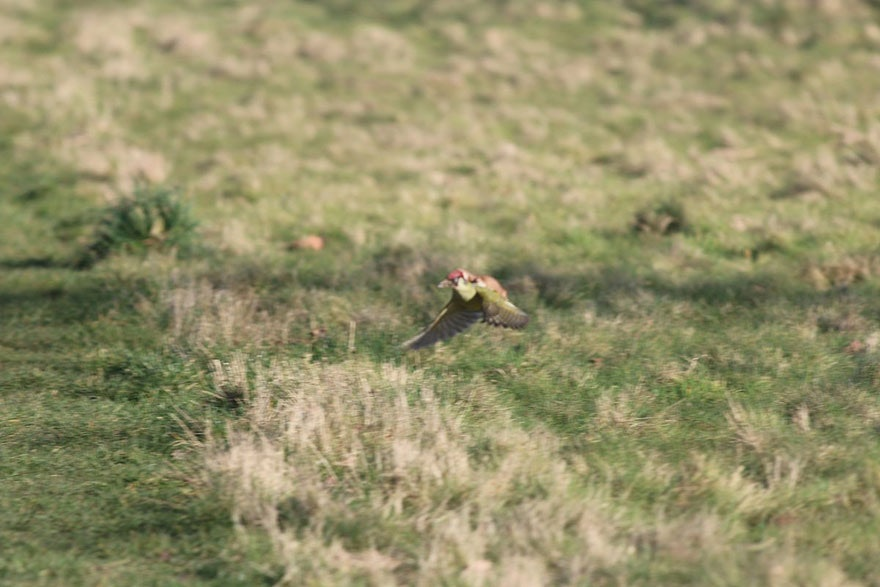 weasel-riding-woodpecker-wildlife-photography-martin-le-may-3