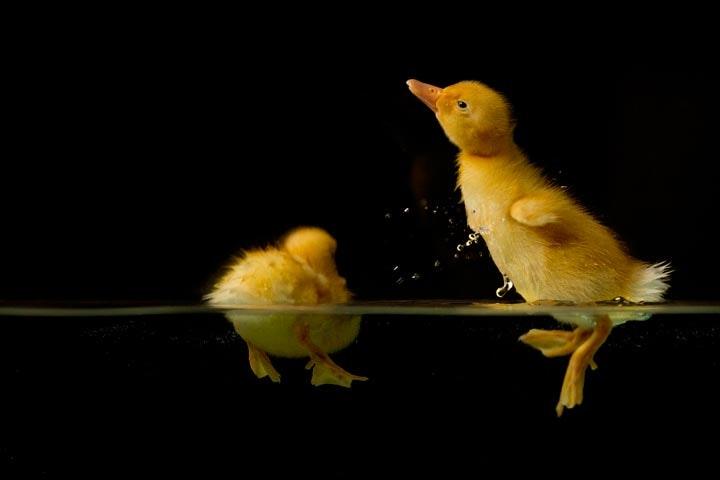 Duck_04