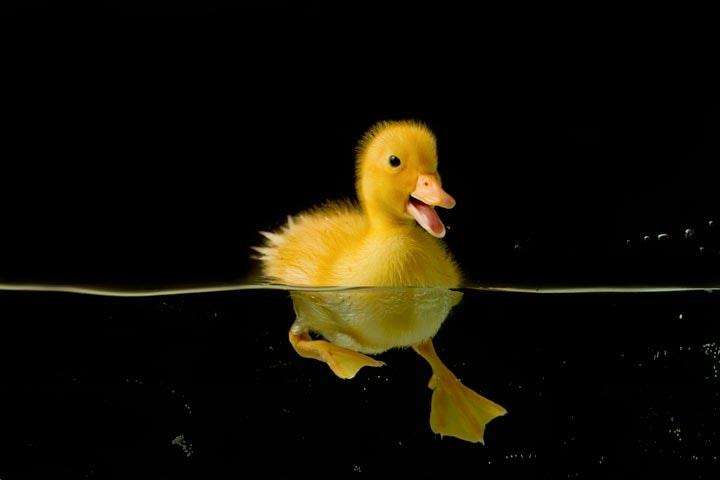 Duck_06