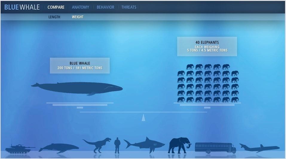 blue whale size - 934×461