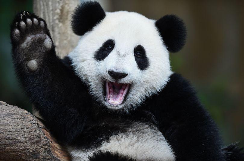 Большую панду исключили изсписка вымирающих животных