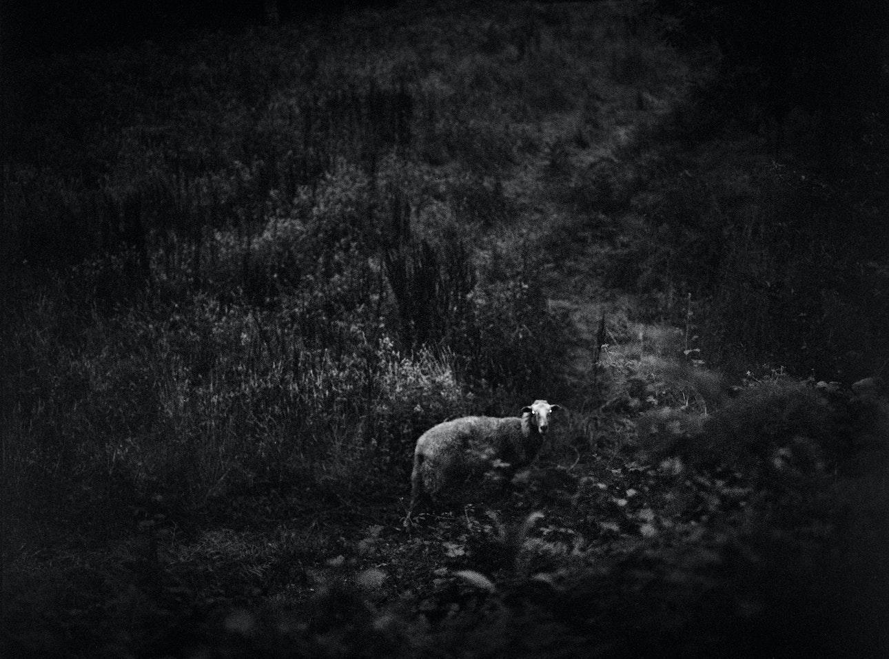 lambs_slaughter_bif-16