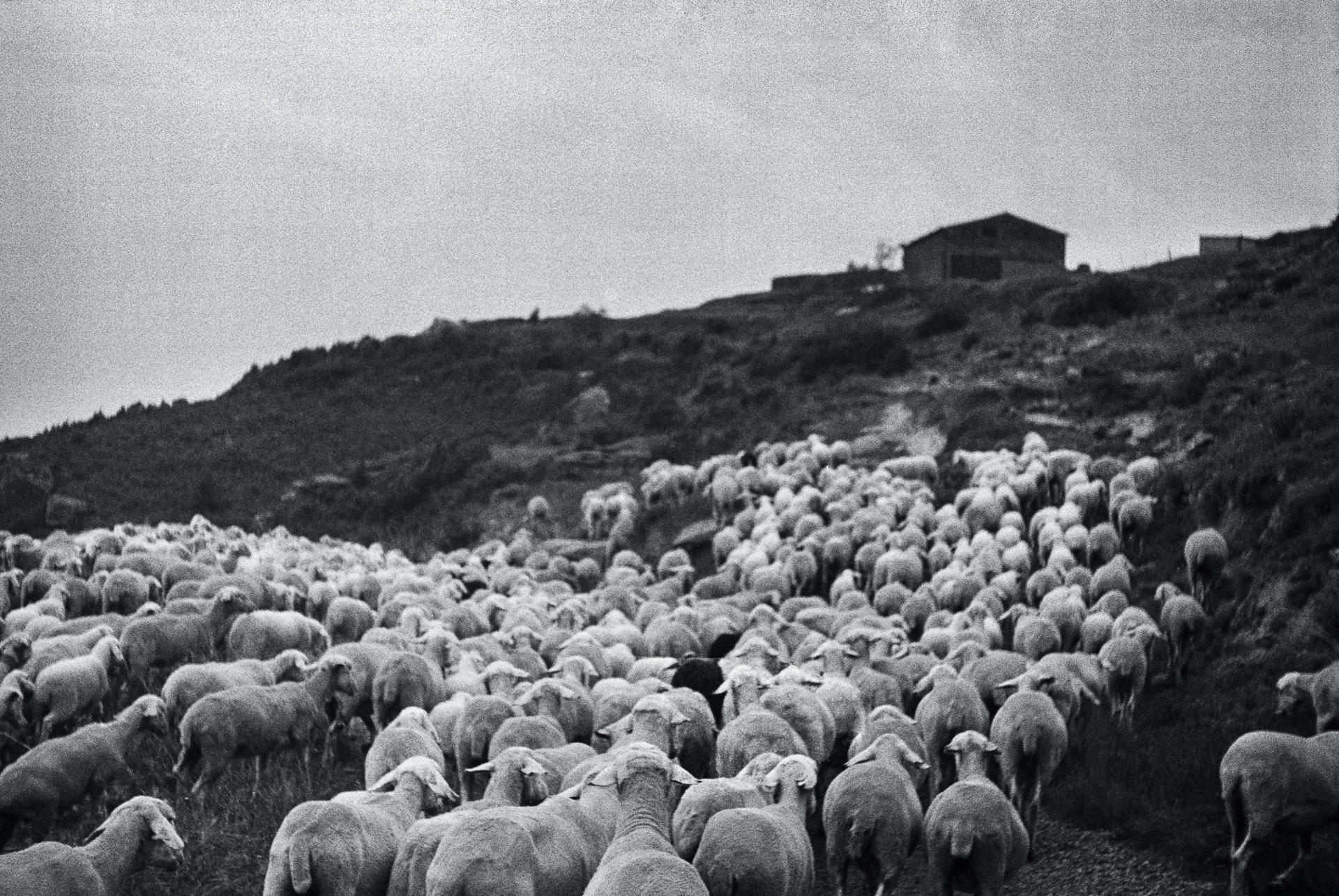 lambs_slaughter_bif-17