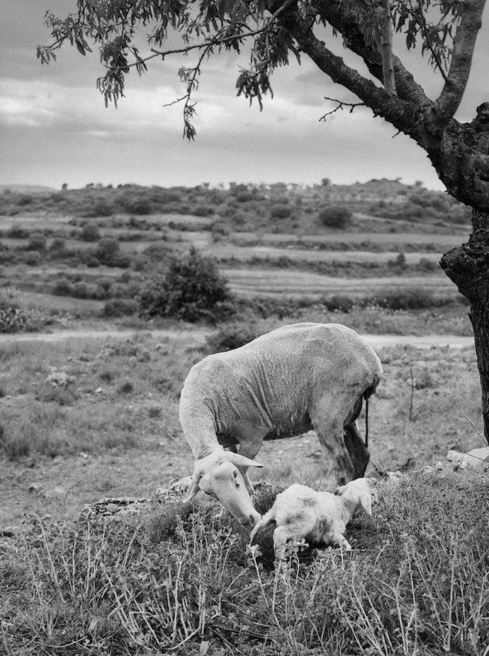 lambs_slaughter_bif-9