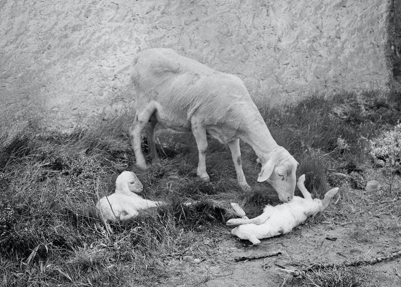lambs_slaughter_bif-2_1