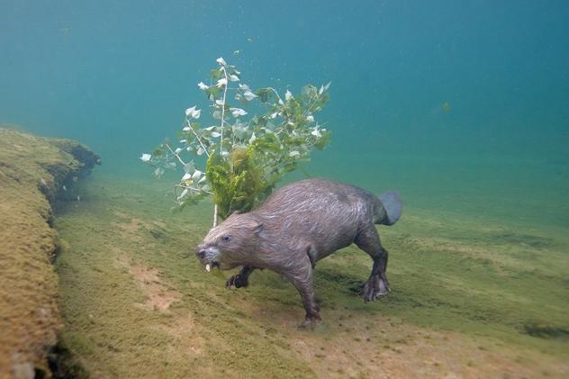 Фотограф сделал впечатляющий эпизод подводного бобра после 4 лет охоты