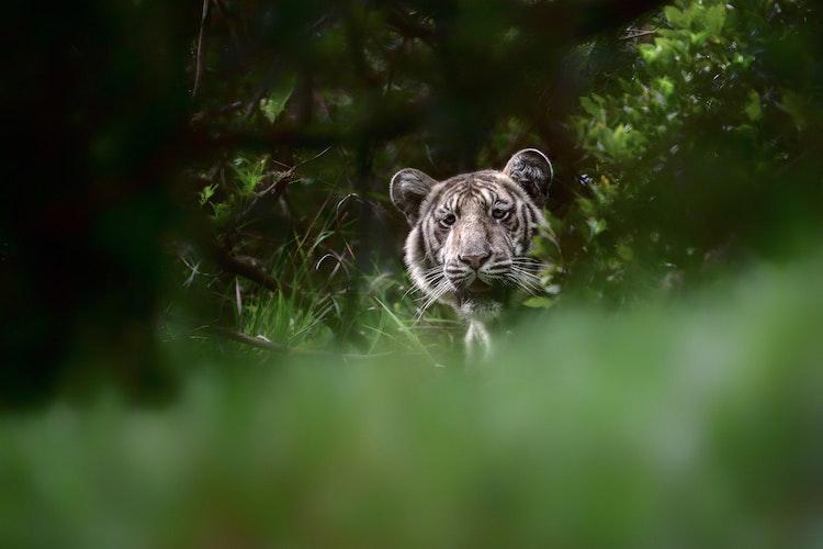 pale-tiger-rare-photo_01