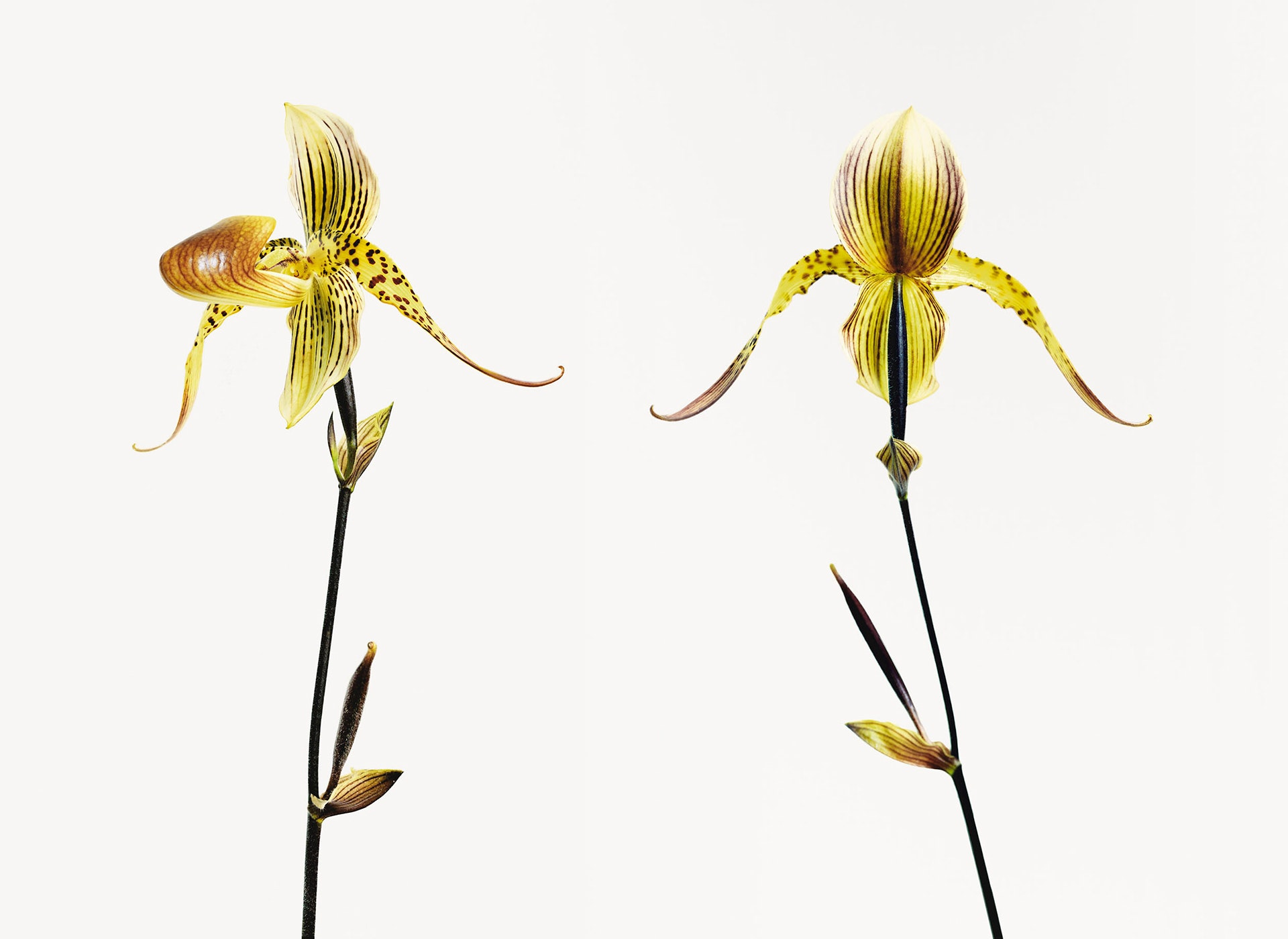 Vincent-Fournier---Orchidee-Banane-(from-the-series-'Post-Natural-History')