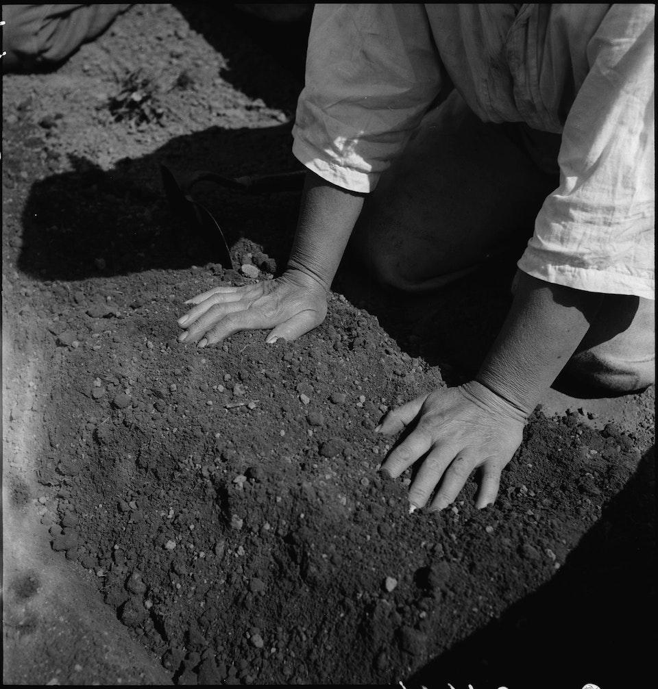 dorothea_lang_Centerville,_California._Hands_of_woman_farm-_worker_preparing_soil_for_transplanting_tomato_plants_._._._-_NARA_-_537591.tif