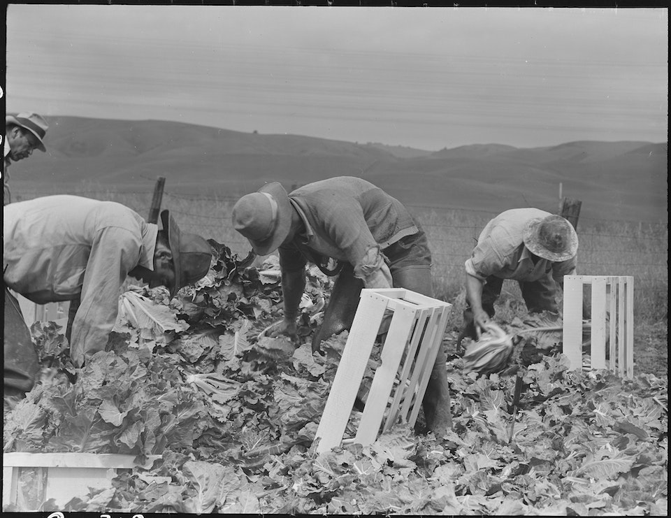 dorothea_lang_Centerville,_California._Japanese_field_laborers_packing_cauliflower_in_field_on_large-scale_ranch_._._._-_NARA_-_537664.tif