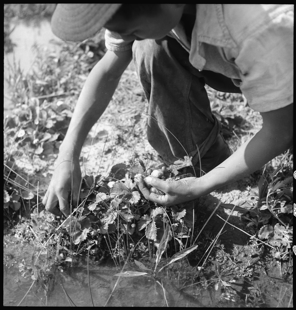 dorothea_lang_Florin,_California._Picking_strawberries_in_an_irrigated_field_a_few_days_prior_to_evacuation_from_._._._-_NARA_-_537858