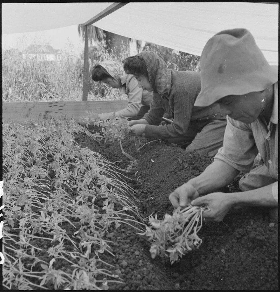 dorothea_lang_San_Leandro,_California._Family_labor_transplanting_young_tomato_plants_under_canvas_about_ten_days_._._._-_NARA_-_536436