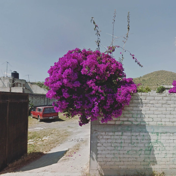 Bougainvillea_Peru_agoraphobia