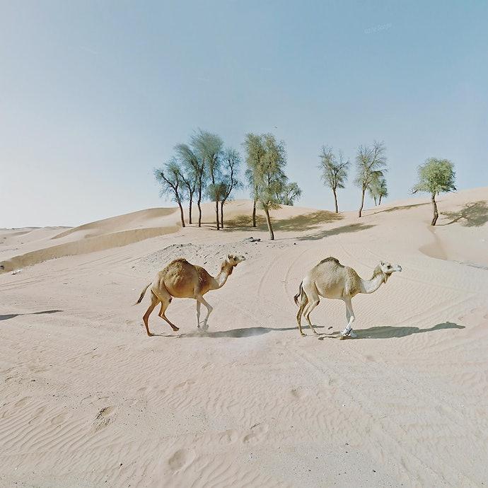 Sycronised Camels_UAE_agoraphobia