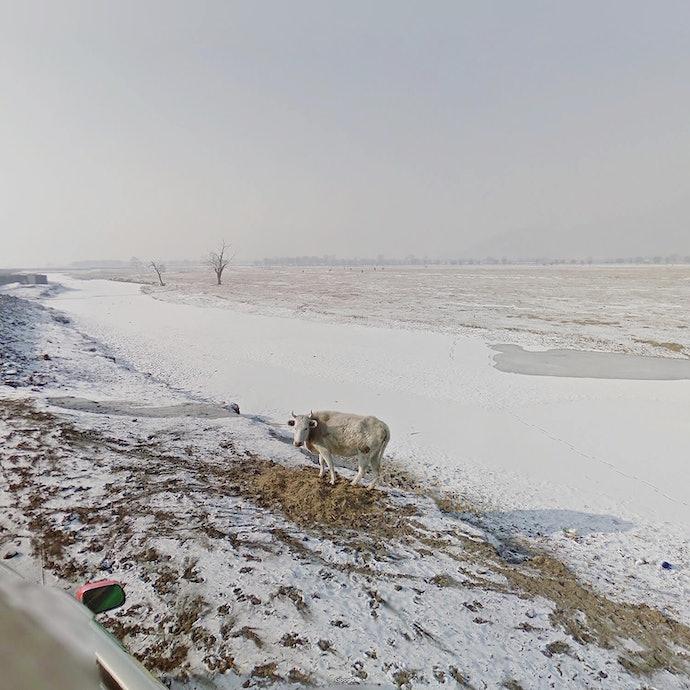 White Cow_Mongolia_agoraphobia