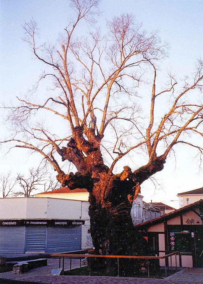 Бискарросский вяз, Франция, 2005 год